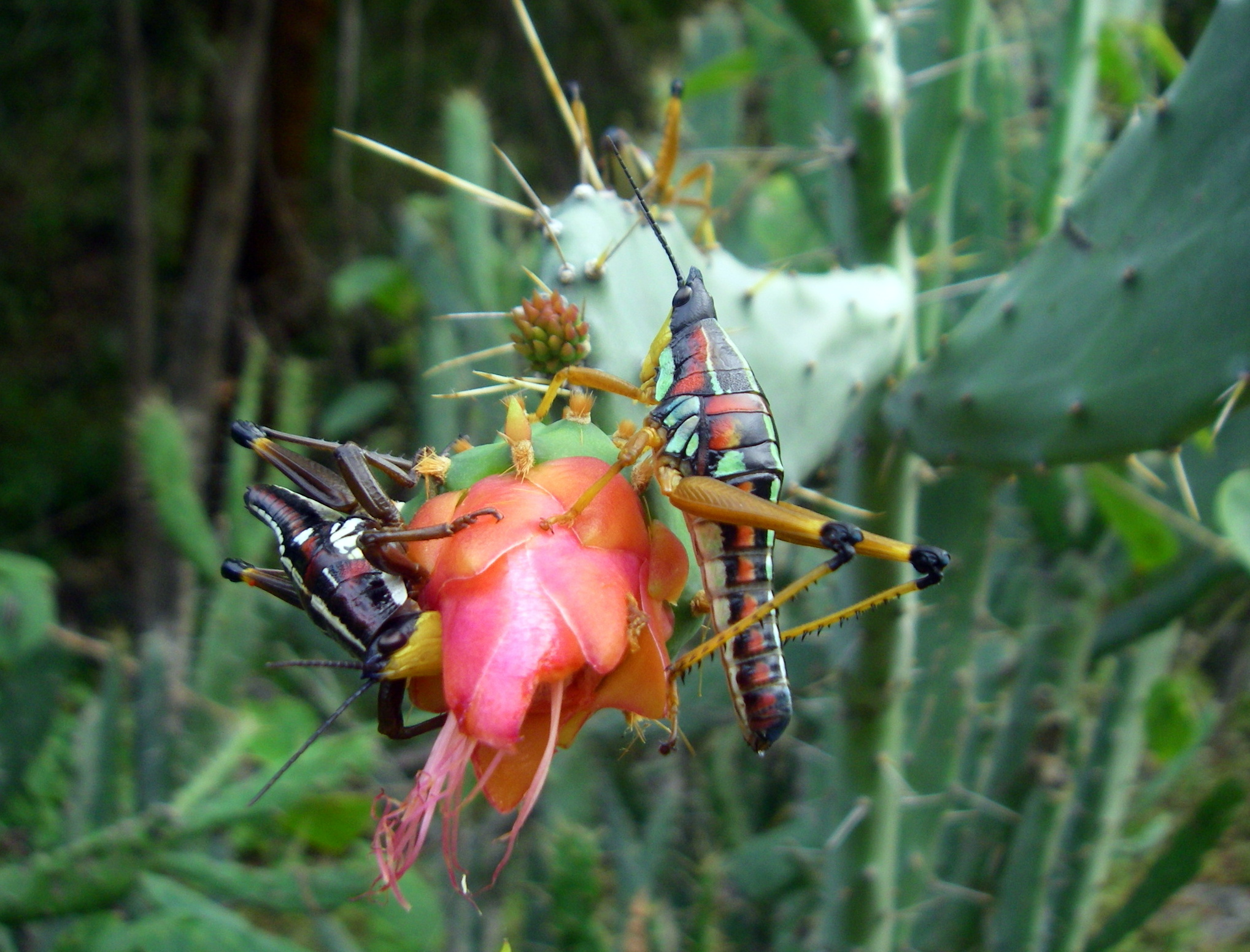 Even the grasshoppers on the prickly pear blossoms are exotic. ©Rocky Contos (www.sierrarios.org)
