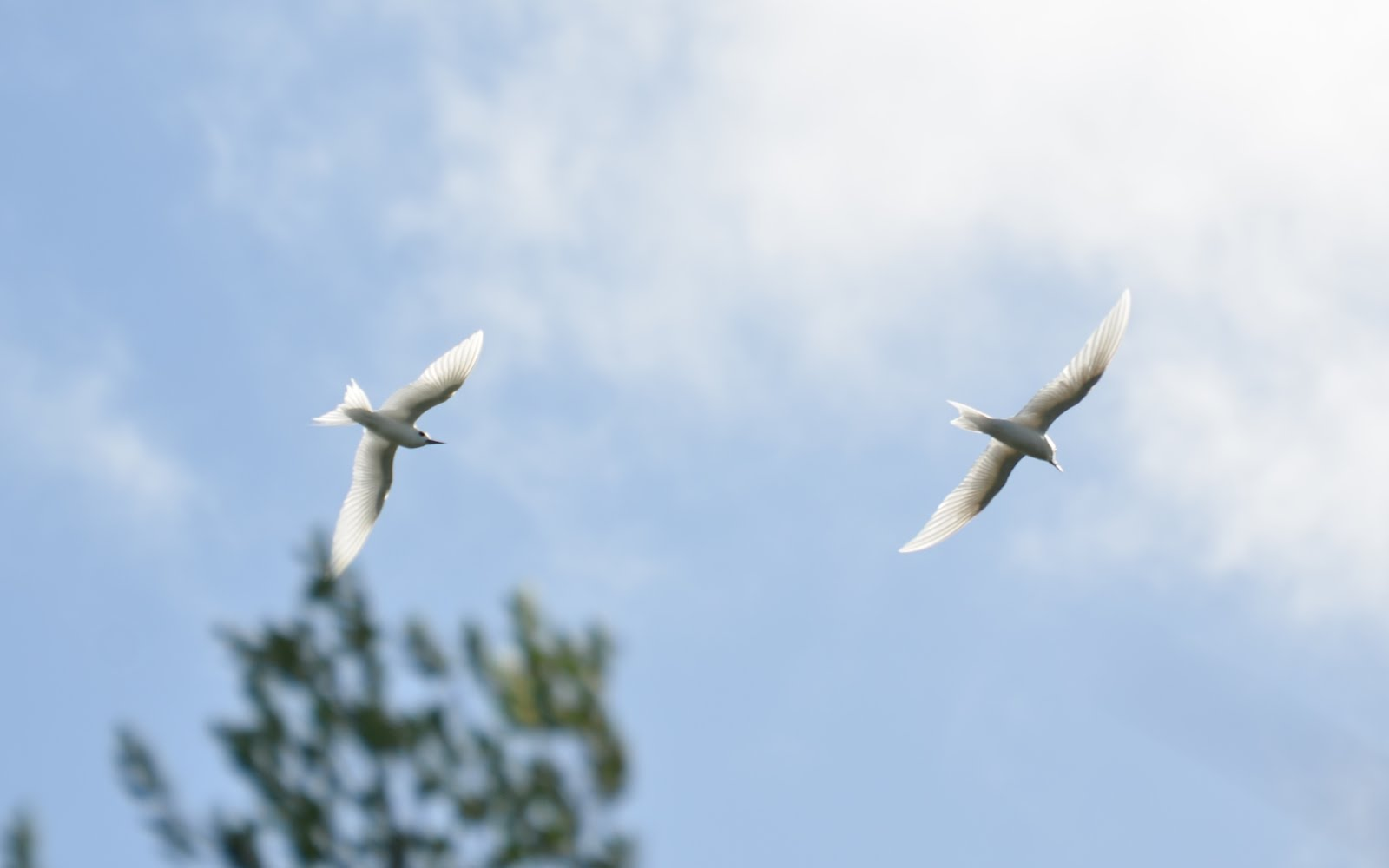 Sea Birds – Part 2: White Terns | Duct Tape Diaries | NRS Community